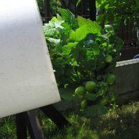 逆さまトマト栽培 Upside Down Tomatoes