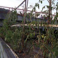 駐車場のトマト