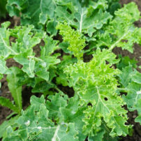 ビタミンAたっぷり!ケールの魅力<br>Kale