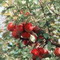 アップルサイダーって何? What is Apple Cider Vinegar?